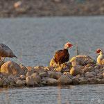 Moskau Gans, Muscovy Duck, Cairina moschata, Cyprus, Asprokremmos Dam, 2011