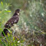 Buteo buteo vulpinus - Steppe Buzzard - Falkenbussard, Cyprus, Akrotiri, Aprill 2015