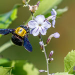 Genus Xylocopa - Holzbiene - Large Carpenter Bees, Cyprus, in our Garden, Juni - July 2016