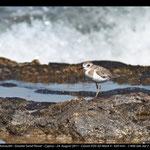 Charatrius leschenaultii - Wüstenregenpfeifer - Greater Sand Plover, Cyprus, Paphos Headland, 2012