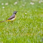 Gebirgsstelze, Grey Wagtail, Motacilla cinerea, Germany, Schambach - Schamhaupten - Altmannstein, Juni 2017