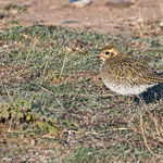 Pluvialis appricaria - European Golden Plover - Goldregenpfeifer, Cyprus, Mandria Beach, January 2015