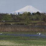 ヨシの新芽が広がる湿地で、餌を求めるダイサギとカルガモ