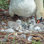newly  born swan 3-4 minutes out of the egg: Aarau Philosophenweg