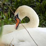 Sleepy mother swan
