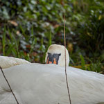 Sleepy mother swan: Aarau Philosophenweg
