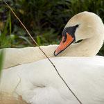 breeding mother swan