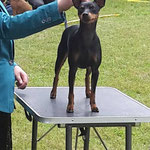 Mit Grace (English Toy Terrier) im Ring, Aarau CH 2015
