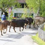 Kühe vorm Haus