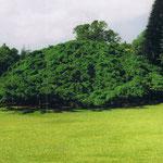 Sri Lanka | Der grösste Fikus Benjamini der Welt im Park Peradenia bei Colombo, ca. 100 Jahre alt und so gross wie ein halbes Fussballfeld