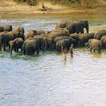 Sri Lanka | Pinnawela - Elefantenwaisenhaus