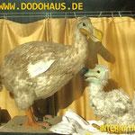 Der altehrwürdige Dodo des Internationalen Dodovereins hat Nachwuchs