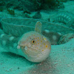 Gefleckter Aal - keine Seeschlange...