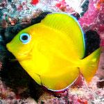 Kleiner (und scheuer!!!) Fisch von nur ca. 3 cm Laenge.