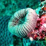 Koralle (?)