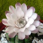 Gymnocalycium spec., 07.09.2012, 3 Std. spaeter