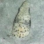 Miroró pintado (Ophichthus ophis) - eingegraben, am restlichen Koerper besitzt er eine grossfleckige Zeichnung  (Nachttauchgang)