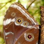 Schmetterlingsflügel, Rio, Detail, 22.05.2010