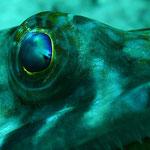 Portrait eines Eidechsenfisches