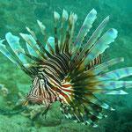 Rotfeuerfisch - eingeschleppte Art, die sich extrem verbreitet...