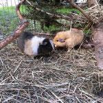Meerschweinchen Tahira mit Meerschweinchen Sumi's Sanjay