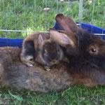 Bartkaninchen Mutter Ellie mit ihrem Jungen auf dem Rücken