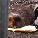 Meerschweinchen Nala und Nougat am fressen