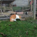 unsere Katze Miston macht Bekanntschaft mit dem Meerschweinchen Leia