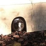 Meerschweinchen Tahira schaut aus dem Häuschen