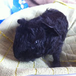 Junges Meerschweinchen