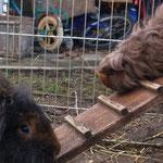 Meerschweinchen Nougat auf dem Weg nach Draussen Bartkaninchen Ellie schaut zu
