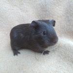 Jerry junges Meerschweinchen