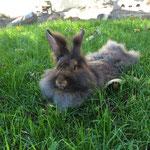 Bartkaninchen Lulu liegt im Gras