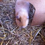 Meerschweinchen Sumi's Sanjay