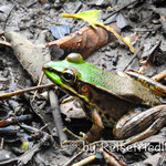 Frosch auf der Canas Castilla