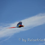 Ara Papagei an der Playa Tarcoles