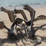 Pelikane beim Kampf um Fischreste