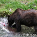 Grizzly in Hyder