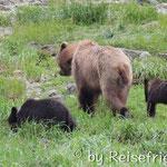 Grizzlymutter mit ihren Jungtieren