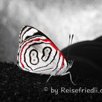 Schmetterling 89 auf der Finca Suiza