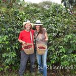 Bei der Kaffe-Ernte