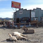 wilde Esel in Oatman