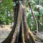 Jungel in Palenque