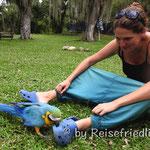 Verliebter Papagei in San Gil