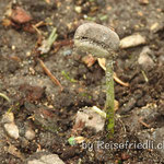 Kaffee-Pflanze