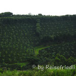 Kaffe-Plantagen