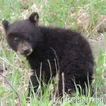 Neugieriges Bärenbaby