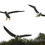 Albatrosse im Flug