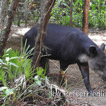 Tapir im Zoo Belize