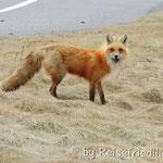 hungriger Fuchs